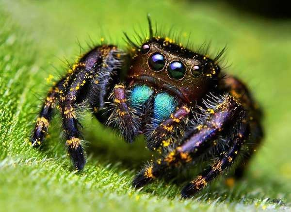 Cute jumping spider - photo#16
