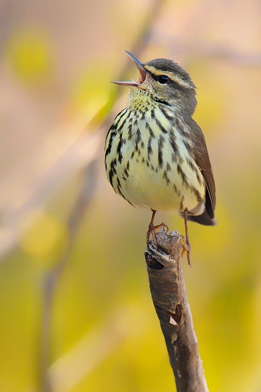 Precariously perched singing northern waterthrush