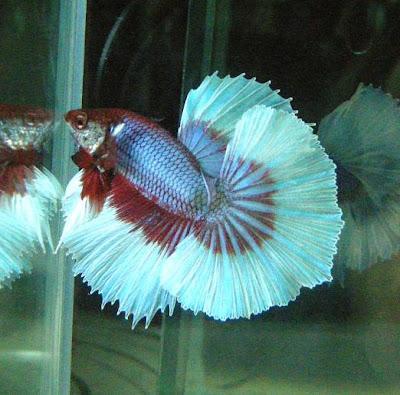 My new betta fish album betta fish care and betta for Butterfly betta fish