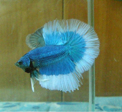 How Long Do Betta Fish Sleep