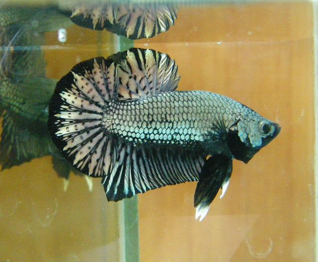 Male plakat betta for Betta fish personality