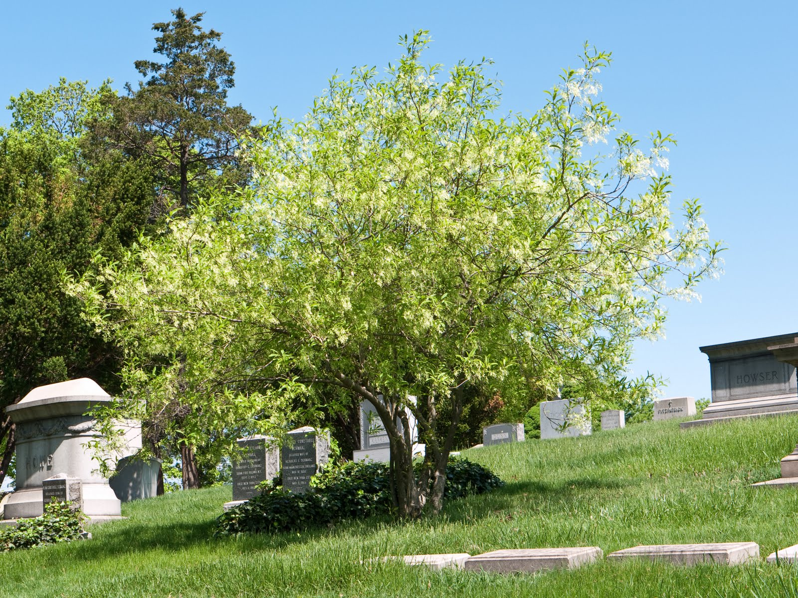 Green wood cemetery trees may 2010 white fringetree mightylinksfo