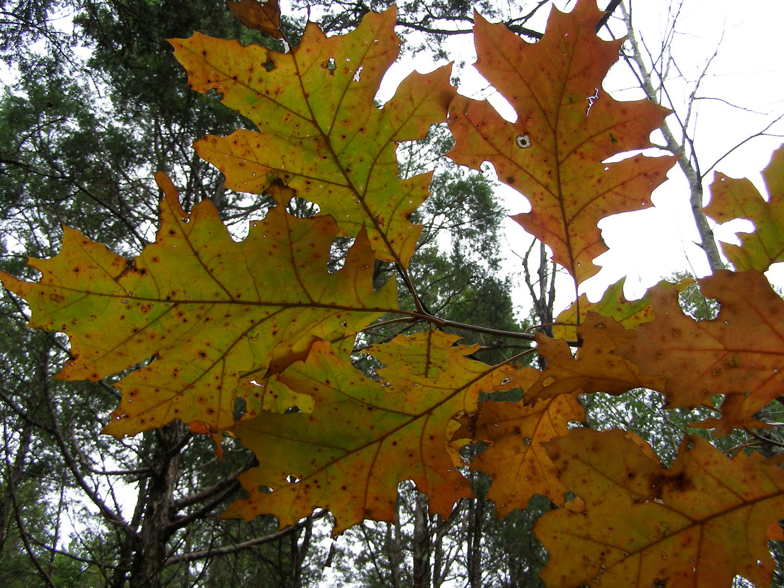 Blue Jay Barrens  Giant Oak Leaves