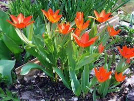 Tavasszal a kertemben.