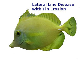 Yellow Tang with Lateral Line Disease and fin erosion