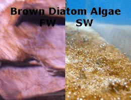 Brown Diatom Algae