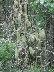 Usnea in forest