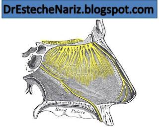 Gray858.png FUNCIÓN NASAL | Parte 3 | Rinoplastia | Nasen OP | Rhinoplasty | ¿Cuáles son las funciones de la Nariz? | Nose functions