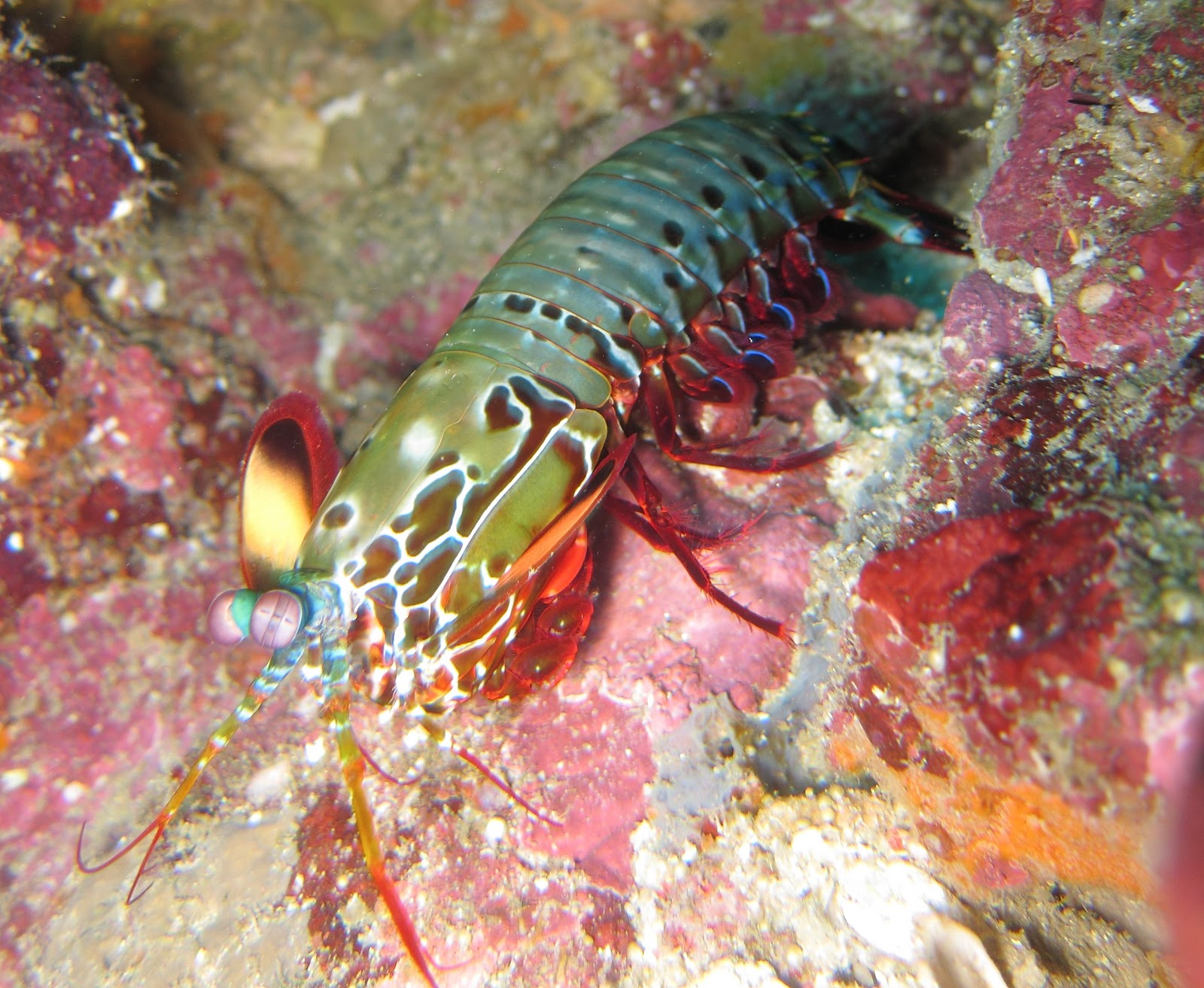 the adventures of mantis shrimp Sea lice or mantis shrimp  fabulous land cut fishing adventure it's that time of year where the land cut becomes a popular place to go fishing for the.