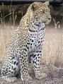 Леопард!!!