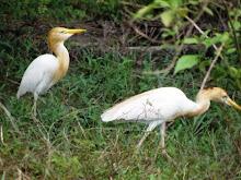 Bangau (Egret)
