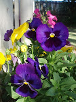 pansies in the front garden