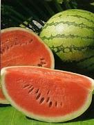 kebun buah semangka