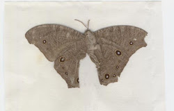 Butterfly (Moth) Sent Home in Letter