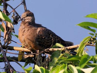 這一天金背鳩、紅鳩都來到這株樹上。