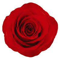 mawar merah unik