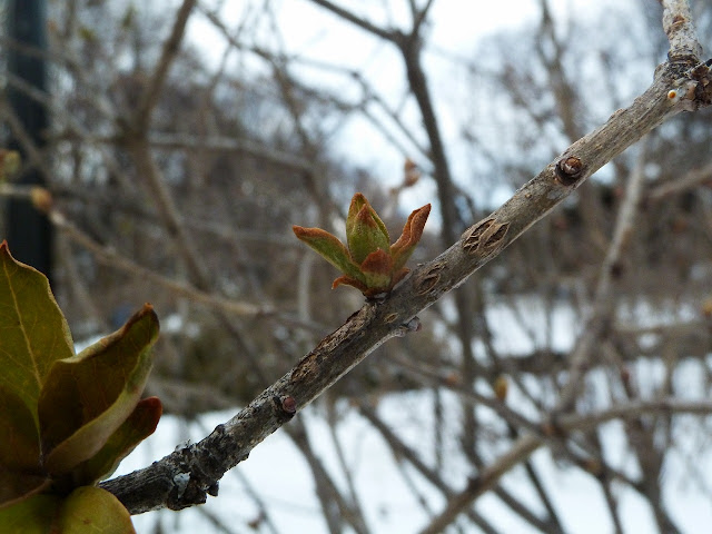 New growth on lilac in winter, Brooklyn Botanic
