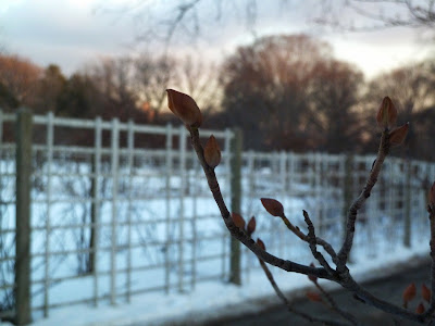Corylopsis, Winter hazel buds in low light, winter, Brooklyn Botanic