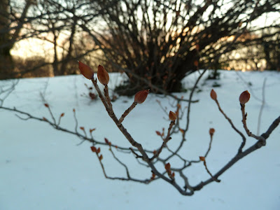 Corylopsis in winter, Brooklyn Botanic