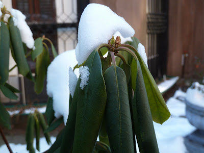 Rhododendron buds and curling leaves in winter cold