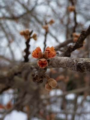 Orange Witchhazel flower remains, Prospect Park, Brooklyn