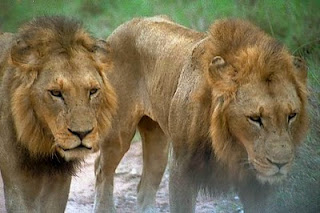 The lions of Njombe