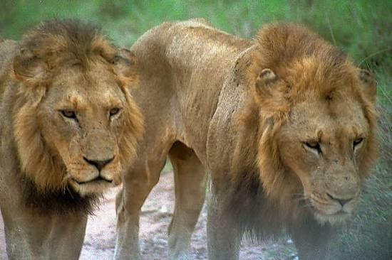 Facts About Lions Animal