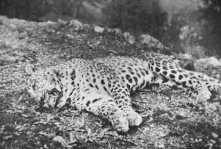 The Panar Leopard