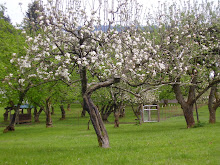 APPLE TREES IN BLOOM!