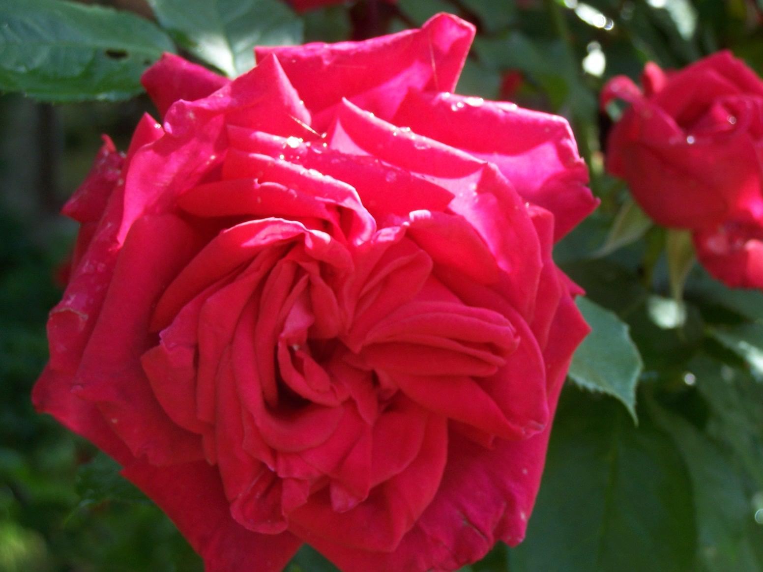 bienvenue dans mon jardin a fill sur sarthe roses coup de coeur. Black Bedroom Furniture Sets. Home Design Ideas