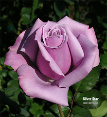 Silver Star Rose