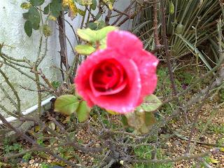 rosa (Rosa)