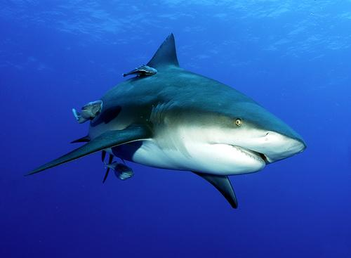 Prolonging me : Time To Speak UP !!: Bull Shark ...