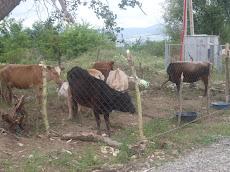 ძროხები