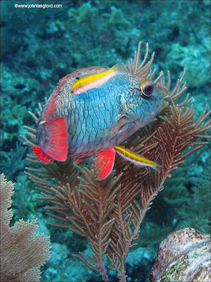 National geographics red parrot fish for Red parrot fish