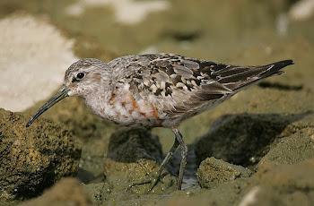 Curlew Sandpiper by Dave Hutton