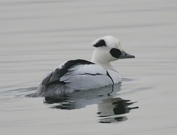 Smew by Dave Hutton