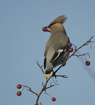 Waxwing by Dave Hutton