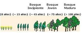 El Crecimiento de un bosque