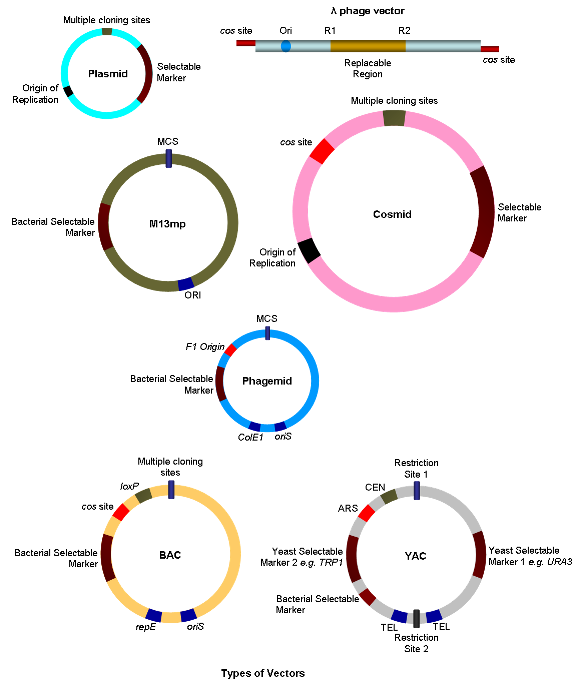 types of cloning After the nuclei were taken from the embryos of one type of mouse the cloning of cattle livestock was achieved in 1988 when embryos from prize cows.