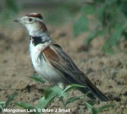 Larks are primarily Old World Birds-Mongolian Lark