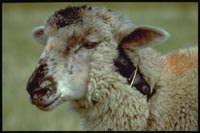 Livestock protection collar (image from National Wildlife Research Center at Colorado State University