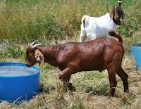 Boer x Kiko buck on test