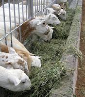 ewes eating alfalfa hay