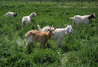 goats grazing in Western Maryland