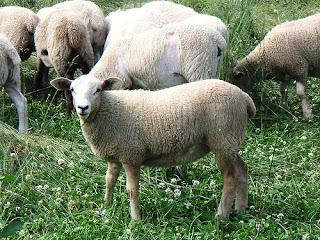 hair x wool lambs