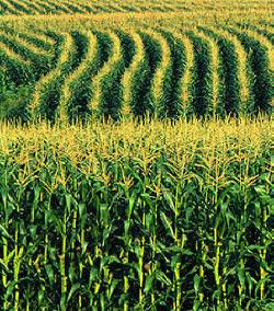 http://3.bp.blogspot.com/_qLAIskTQXUc/TSMsJXjmHlI/AAAAAAAAFls/S9rHE-Tzhfk/s1600/corn_field.jpg