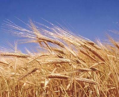 http://3.bp.blogspot.com/_qLAIskTQXUc/TSxpS3Nyg2I/AAAAAAAAFwU/YdFsX03-mRQ/s1600/wheat%252823%2529.jpg