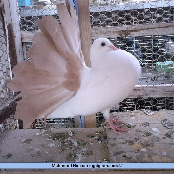 Pigeons for sale: Yellow Tail Mark Fantails pigeon photo