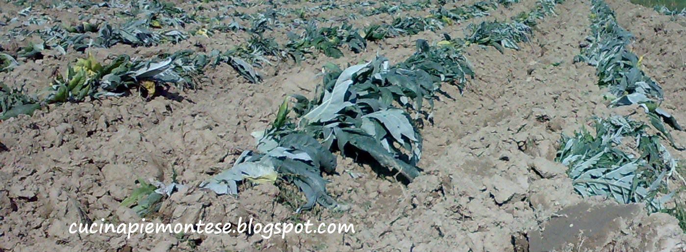 nelle campagne di nizza monferrato in piemonte per proteggerlo dal freddo dellinverno viene parzialmente sotterrato come si vede nella foto